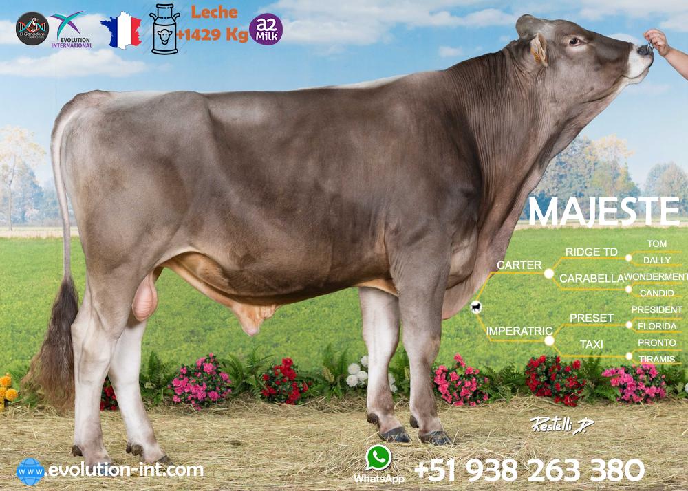 Toro Bronw Swiss Majeste el mejor toro