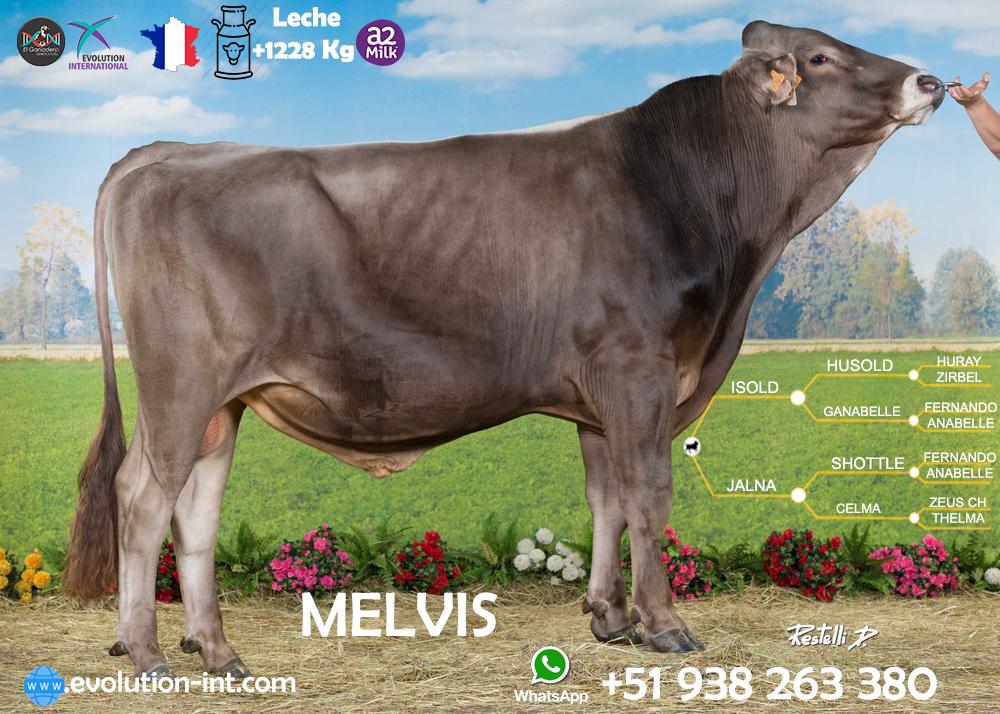 Toros Brown Swiss Melvis Frances