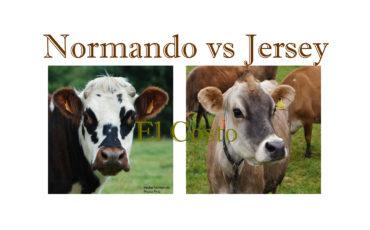 Raza Normando vs Jersey